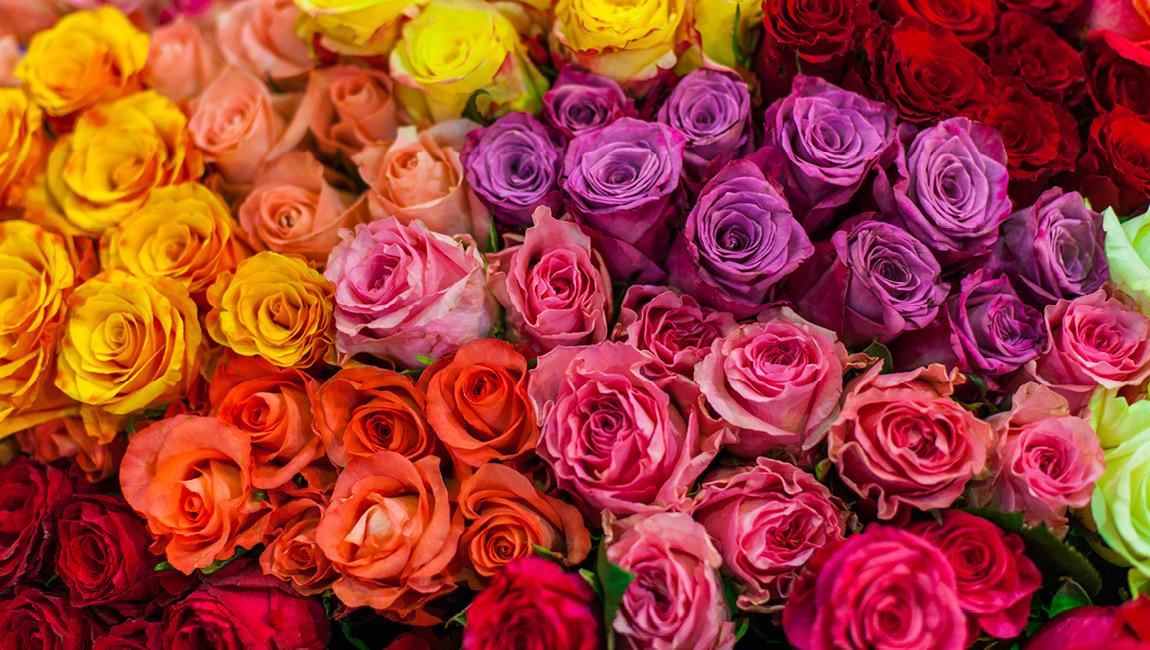 розы для парфюмерии